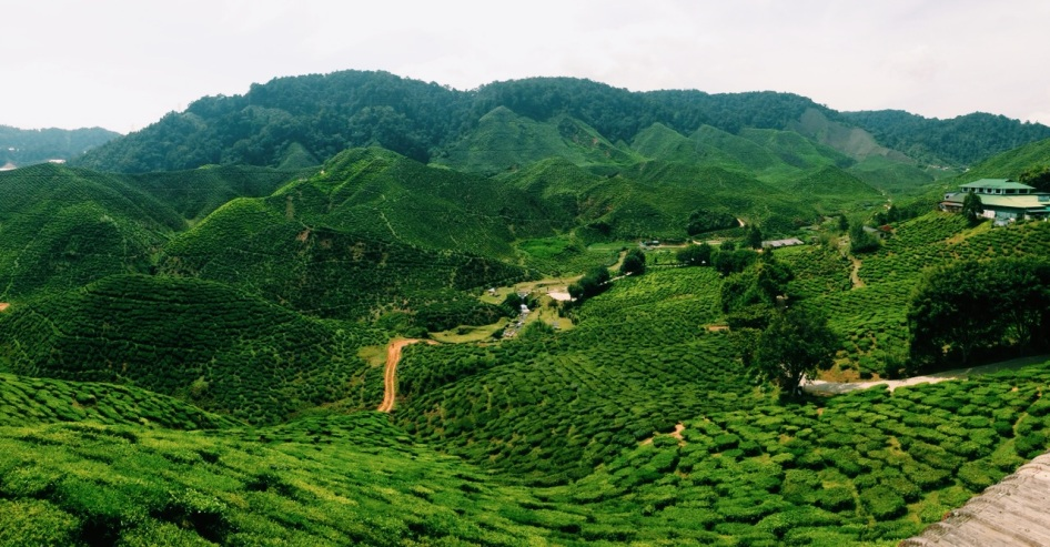 plantacje herbaty Bharat, widok z herbaciarni
