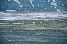 arktyczne renifery, bardziej ubite niż te nam znane, główne źródło mięsa