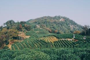 pole herbaciane koło Hangzhou